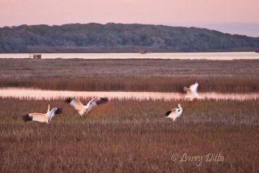 Whooping_Cranes_Landing_70K3470