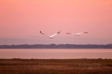 Whooping_Cranes_Larry_Ditto_MG_9972
