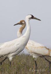 Whooping Cranes at Aransas NWR, Texas