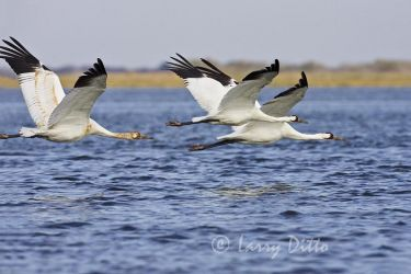 Whooping_Cranes_Larry_Ditto_X0Z1894