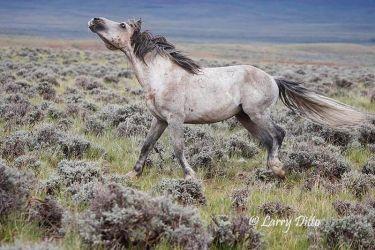 Wild horse in Wyoming