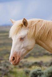 wild horse (Equus caballos) adult in Wyoming, USA, June