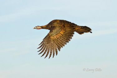 wild turkey hen in flight, s. Texas