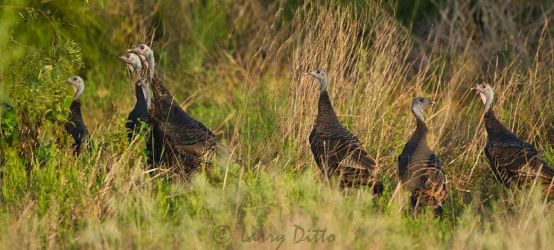 Wild_Turkey_Larry_Ditto_MG_9037