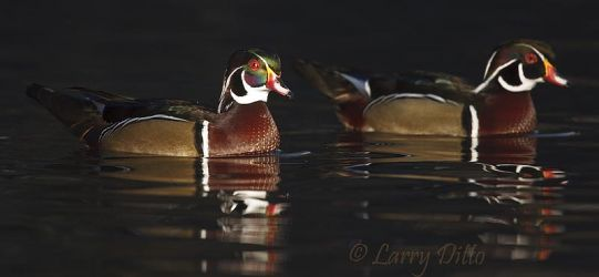 Wood_Duck_Larry_Ditto_70K4877