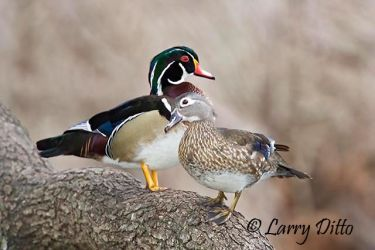 Wood Duck (Aix sponsa) pair resting in tree above pond, spring