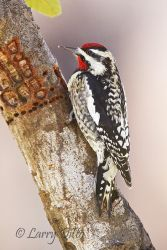 Yellow-bellied_Sapsucker_Larry_Ditto_MG_0038