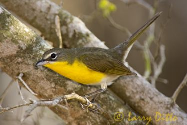 Yellow-breasted_Chat_Larry_Ditto_2068
