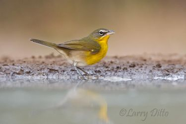 Yellow-breasted Chat drinking