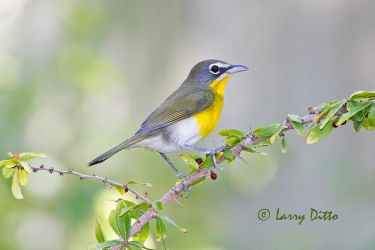 Yellow-breasted_Chat_Larry_Ditto_MG_7190