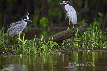 Yellow-crowned Night-Heron, Caddo Lake, Texas
