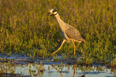 Yellow-crowned_Night-Heron_Larry_Ditto_MG_3279