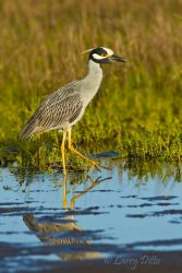 Yellow-crowned_Night-Heron_Larry_Ditto_MG_3488