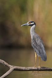 Yellow-crowned_Nightheron_Larry_Ditto_MG_3719