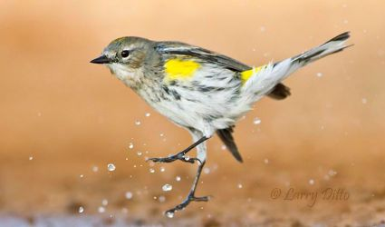 Yellow-rumped_Warbler_Larry_Ditto_MG_0746