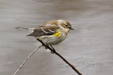 Yellow-rumped Warbler on perch by pond