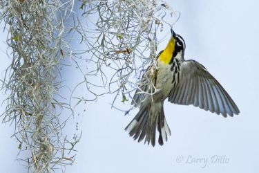 Yellow-throated_Warbler_Larry_Ditto_MG_0704