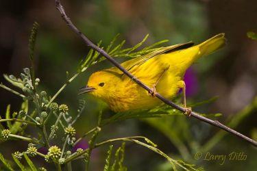 Yellow_Warbler_51U9797
