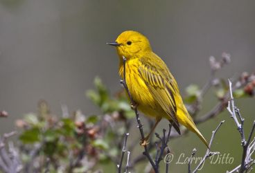 Yellow_Warbler_Larry_Ditto_MG_9893
