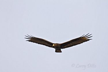 Zone-tailed_Hawk_Larry_Ditto_MG_0889