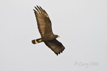 Zone-tailed_Hawk_Larry_Ditto_MG_0912