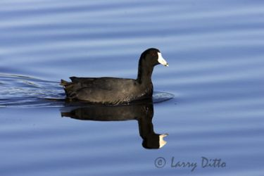american_coot_larry_ditto_x
