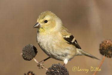 american_goldfinch_2_larry_ditto-