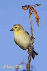 american_goldfinch_larry-ditto