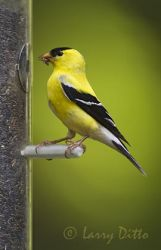 American Goldfinch, adult male, at feeder, North Carolina, spring
