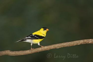 American Goldfinch, adult male, spring