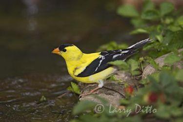 American Goldfinch, adult drinking, North Carolina, spring