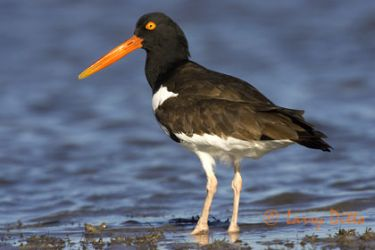 american_oystercatcher_larrry_ditto