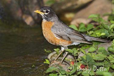 American Robin (Turdus migratorius), adult about to bathe, North Carolina