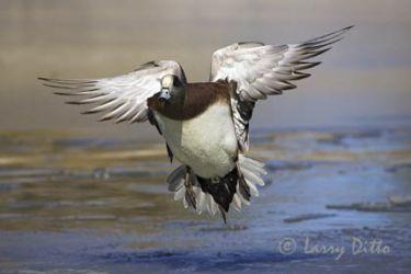 American Wigeon (Anas americana) drake landing, winter