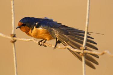 Barn Swallow (Hirundo rustica) on fence, migration