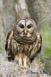 barred_owl_larry_ditto_x0z6056