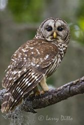 barred_owl_larry_ditto_x0z6102