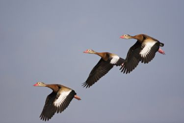 black-bellied_whistling_duck_3348
