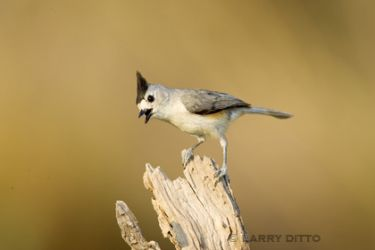 black-crested_titmouse_Larry_Ditto