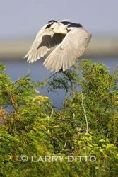 black-crowned_night-heron_larry_ditto