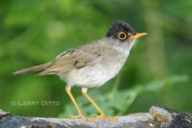 black-headed_nightingale-thrush_Larry_Ditto