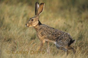 black-tailed jackrabbit_larry_ditto