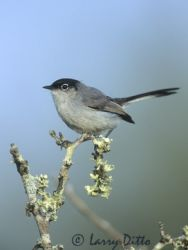 black-tailed_gnatcatcher_larry_ditto