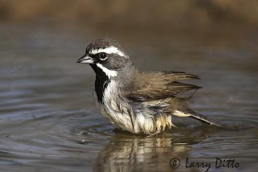Black-throated Sparrow (Spizella atrogularis) bathing, s. Texas pond, spring