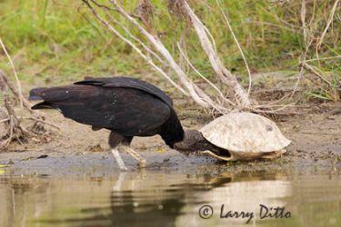 black_vulture_larry_ditto_m