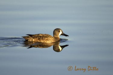 blue-winged_teal_larry_ditto