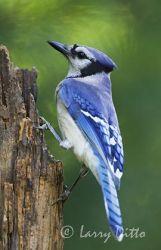 Blue Jay on a tree stump, eastern U.S., spring, adult
