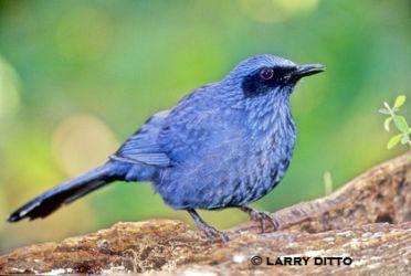 blue_mockingbird_larry_ditto