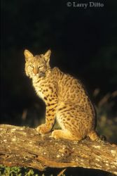 bobcat-on-log_larry-ditto