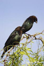 Brown-headed Cowbird (Molothrus ater) males, s. Texas